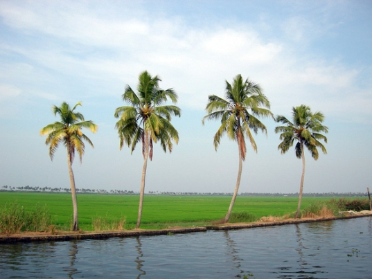 coconut-trees-2-1359166
